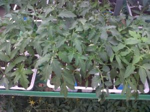 tomato seedlings in seedling trays